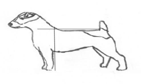 where a dog should be measured